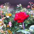 めだかの赤チャンと薔薇