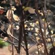 蝋梅の花を探して公園をもう1周 ・・・  walking two laps to look for wintersweet