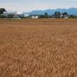 収穫間近の麦畑と赤城山