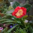 ツバキの花