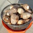 里芋と菊芋の収穫