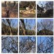 千葉ポートタワー公園の梅はまだまだですね。数本の木が数輪咲いていました。
