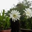 曇り小雨の真夏は・・サボテンの花