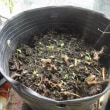 [気温31℃][晴れ] 水のやりすぎ?肥料のやりすぎ?