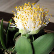 <マユハケオモト(眉刷毛万年青)> その名は花と葉の姿形から