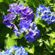 岩岳の紫陽花、
