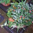 夏祭り用の寄せ植え鉢作り:2017