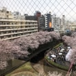 目黒川のお花見 in 中目黒 (Flower viewing of the Meguro River in Naka-Meuguro)