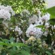 カルミヤの花は小さな1輪もいいですね
