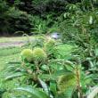 我が家の果樹園、今年は栗御飯が食べられるかな?。