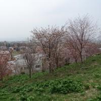 由仁町の桜は7分咲き?