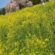 「女ひとり桜訪ねて」 二本松市 合戦場のしだれ桜にて撮影! 菜の花との競演