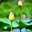 蓮の花・・・。