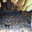 日本ミツバチが消滅・・