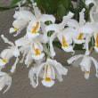 セロジネ原種 クリスタ―タ Coelogyne cristata