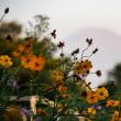 21/Sep 朝の富士山とコスモスとニャンコ