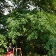 山椒の大木に今年も沢山実がなりました~ちょっと遅めの収穫!ちりめん山椒や山椒ソーダ~