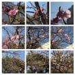 20140225イオンマリンピア河津桜