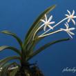 フウラン山採り六弁花②