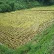 昨日、わずかの晴れ間に稲刈り・・・格闘の跡が生々しいね。ようやく11枚刈り取り終了。今日からまた雨・・・残り2枚は来週になりそうです。今秋は天候に恵まれず・・・です。