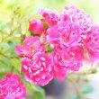ミニ 薔薇