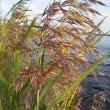 季節の花「葦(あし)」