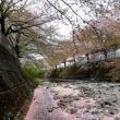 桜ロード桜吹雪が終わって