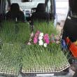 頂いたタマネギのセルトレー苗1,200穴を定植しました