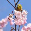 ☆春の訪れ...メジロと桜♪