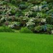 柴石峠近辺の山アジサイ~小呂池