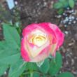 """17/9/19  """"LA VIE EN ROSE""""のバラ達"""