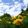 フレンチマリーゴールドの花壇