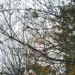玉ねぎの苗&四季桜