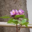 季節外れの花、シャクナゲお前もか