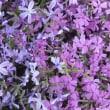 1804ーシバザクラ  庭・花壇