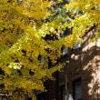 東京大学の銀杏並木を見に行こう