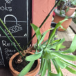 大きくなりすぎた観葉植物 植え替えに挑戦