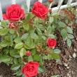 今日の薔薇と・・主役交代か?