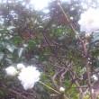 横浜で桜が開花