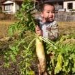 ◆ 大根の収穫