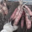 サツマイモ2017:ベニアヅマ豊作