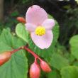庭の奥秋海棠の西瓜色