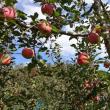 りんご園だよ