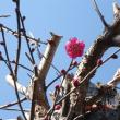 我が家の梅開花