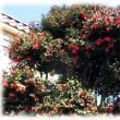 春の訪れとともに…(^^♪花の少ない早春に見事な美しい花を咲かせる「茶花の女王 椿」