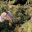 7/22探鳥記録写真-2(7月中旬に出会った鳥たち:ヨシゴイ、セッカ(雛)、チュウヒ(雛))