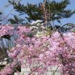 満開の日吉八幡神社境内の枝垂れ桜