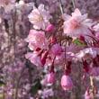 三春桜は、静かに・・・