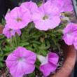 八重咲きカリブラコア