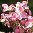 早くも、ハナミズキが咲き始めました。‥③ 【ひで某】